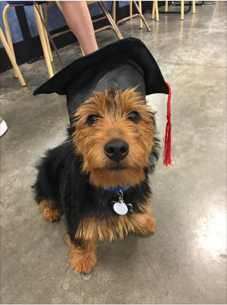 Meet Murphy (Australian Terrier) who joined our family in May 2016 (and who graduated...barely!)